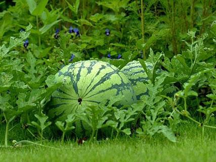 [تصویر:  Watermelon-garden.jpg]