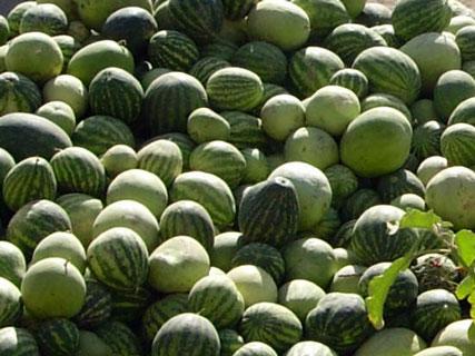 [تصویر:  watermelons.jpg]